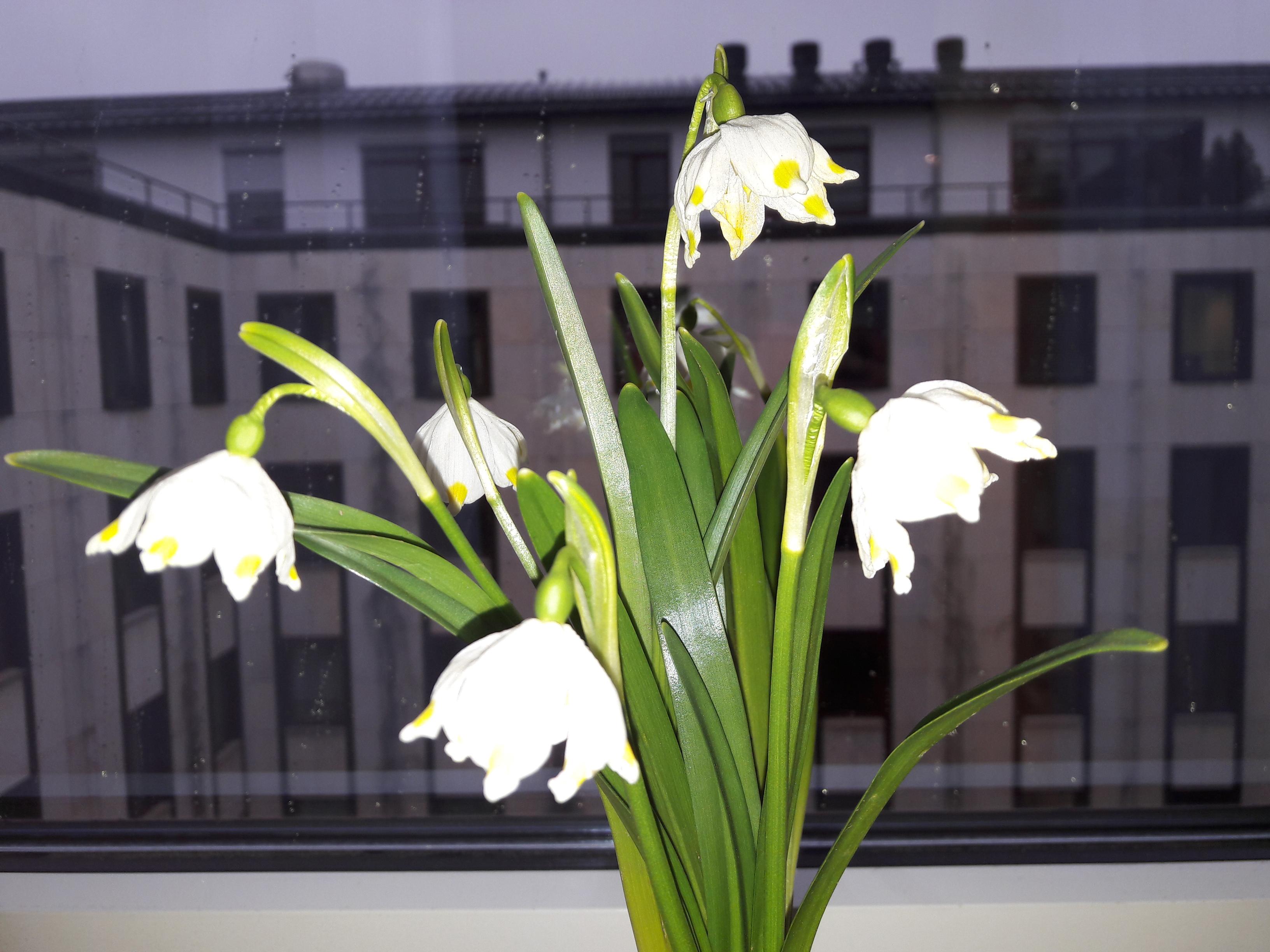 Märzenbecher - ein nachträglicher Glückwunsch zu meinem Geburtstag und der schönste Schmuck in meinem Hotelzimmer